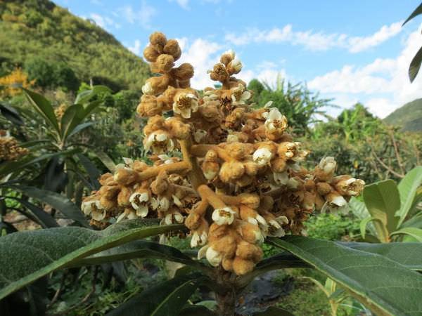 比亞外部落, 桃園縣, 復興鄉, 琵琶樹開花