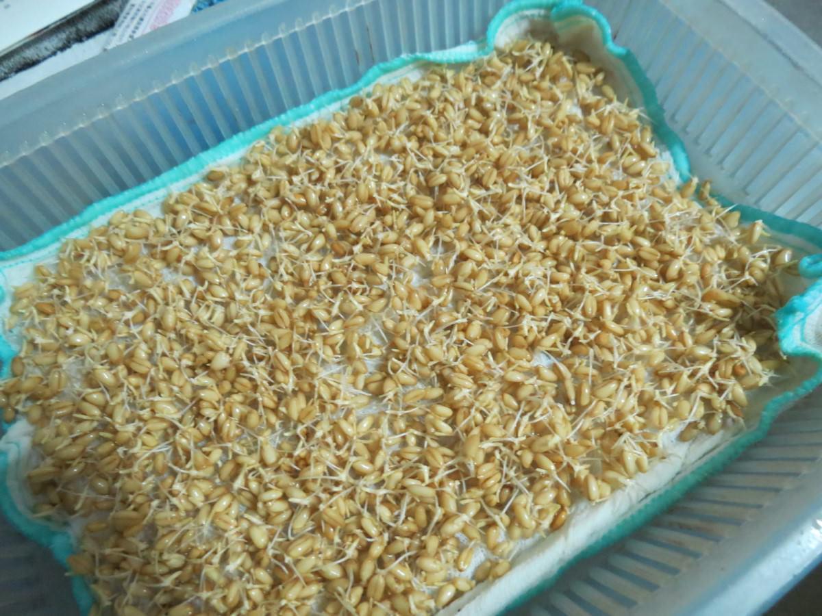 自製麥芽糖, 小麥草種子