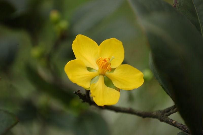 桂葉黃梅(米老鼠樹)