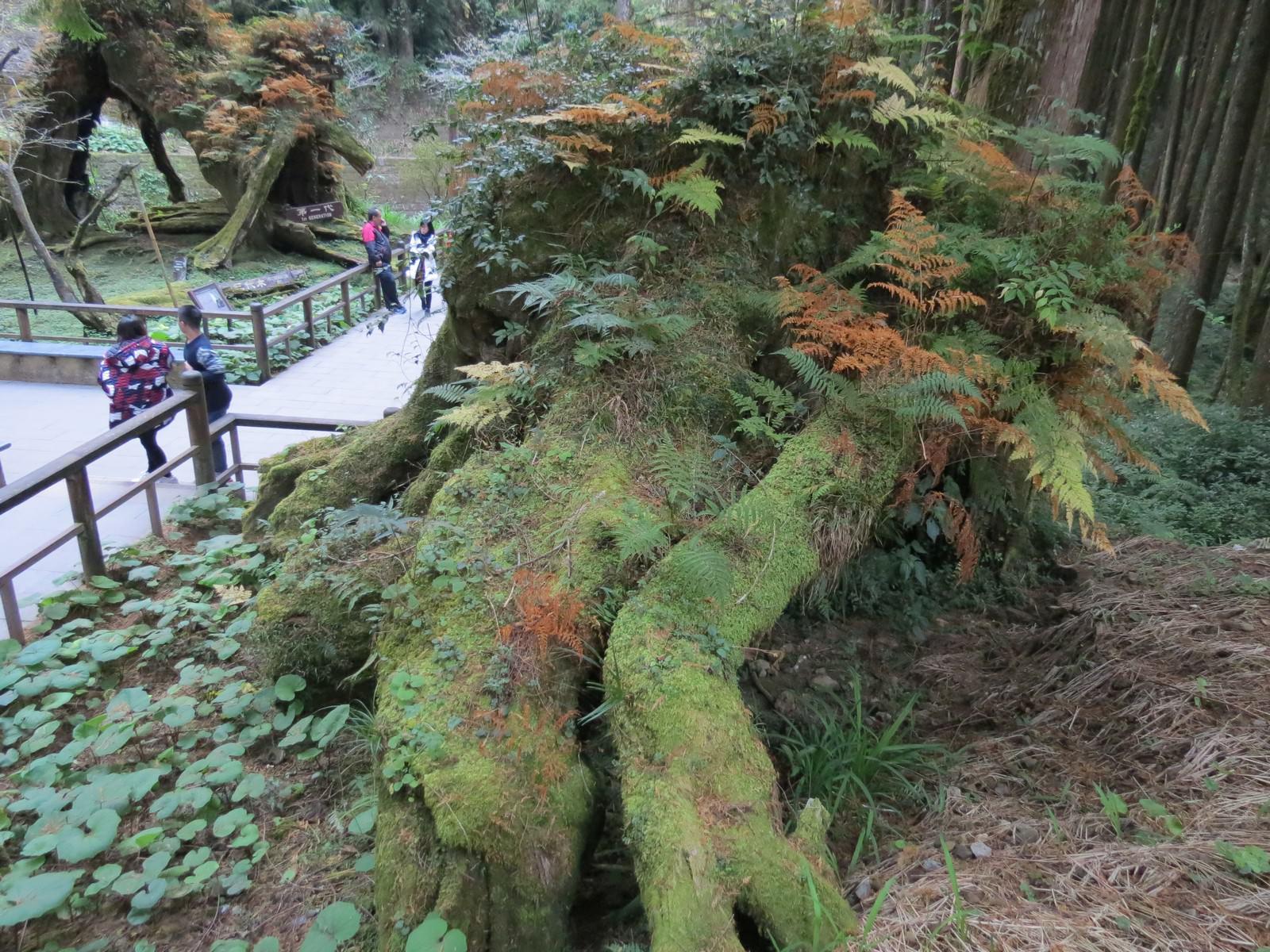 阿里山國家風景區, 象鼻木