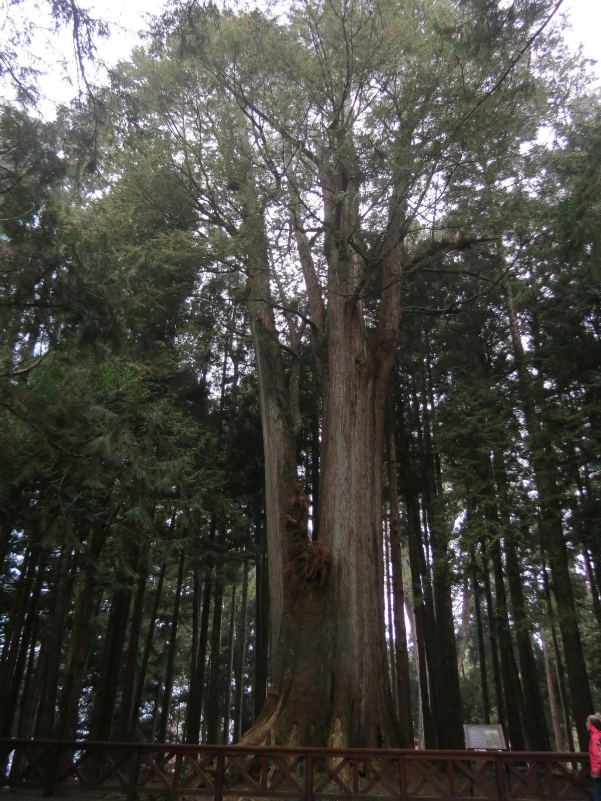阿里山國家風景區, 千歲檜